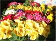 自家用フラワー:鉢花:プリムラジュリアン