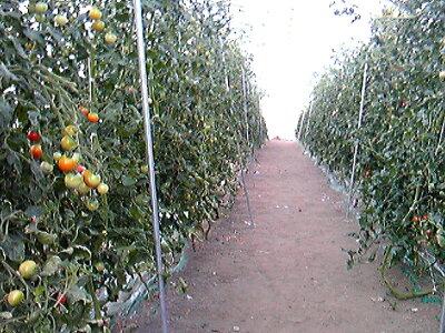 フルーツトマト栽培風景