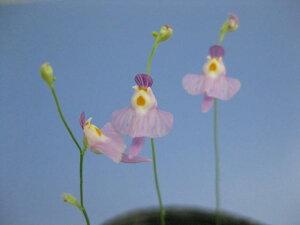 クリオネに似ていますが、それより色が濃く、花も大きめ。食虫植物 ミミカキグサ クリオネに...