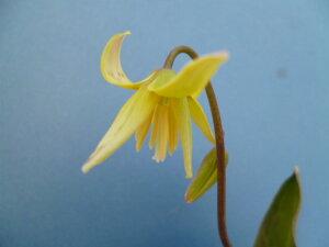 カタクリ 黄花カタクリ(2球植え)