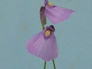 少し大きめの青紫色の花です。食虫植物 ミミカキグサ ディコトマ