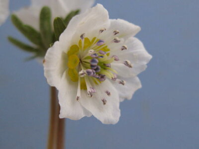 韓国原産種で花が大型で、見応えがある。セツブンソウ「ヒナマツリソウ」
