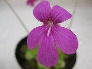 ウェサー 食虫植物