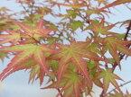 小盆栽 モミジ「血汐(チシオ)」接ぎ木