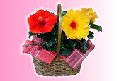 夏の夜も咲き続けるロングライフ・ハイビスカス☆手さげかご入り選べる2鉢セット【送料無料】【プレゼント・ギフト】【花・鉢植え】【母の日】