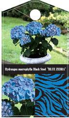 """ご好評により完売致しました""""ゼブラ""""が庭植え用として再販開始!!自家用☆アジサイ・ブラック..."""