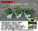 """☆アジサイ・ブラックスチール""""ゼブラ""""庭植え用5号鉢☆次の開花は来年です。梅雨の今が植え替えの適期です!"""