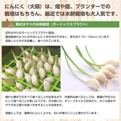 にんにく種球1kg×10ネット中国産上海嘉定種(ホワイト)