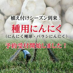 水耕栽培についてにんにく種球1kg×10ネット中国産上海嘉定種(ホワイト)