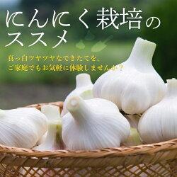 にんにく1kg×10ネット食用におすすめ中国産特栽上海嘉定種(ホワイト)[にんにく種球種子ニンニク]