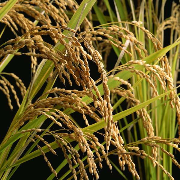 米 玄米 5kg 令和元年産 北条米 【あす楽対応】