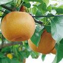 果肉はやわらかで、「豊水」の名の通り果汁たっぷりの梨です。