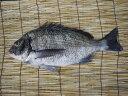愛知・豊浜で水揚げされた天然・黒鯛を発送直前に活〆+神経締めをしてお届けします。豊浜漁港直送 天然 黒鯛(クロダイ) 2kg以上