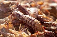 【子持ちあり】 愛知・豊浜産 ボイル蝦蛄(シャコエビ・しゃこ)(中) 1kg 50匹前後