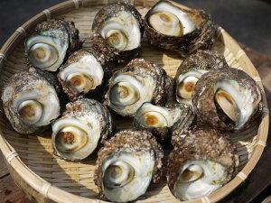 愛知県産 天然サザエ(特大) 1kg (5〜8個)