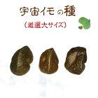 宇宙芋エアーポテトの種イモ無農薬栽培の画像