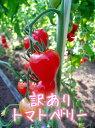 【訳ありトマトベリー1.5kg】ほんとだったらハート型♥ルックスじゃなくて中身が大事!ト...