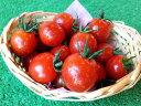 【期間限定】1.5kg高橋農園のこだわりミニトマト(べにすずめ)バラ売り・無選別品 1.5kg