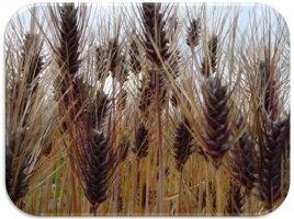 豆力こだわりの国産もち麦1kg【メール便不可】【もちむぎ、大麦、裸麦】