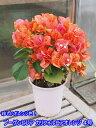 南国の花の代名詞ブーゲンビリア カリフォルニアオレンジ 4号...
