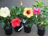 人気のハイビスカス鉢植えサマーブリーズシリーズ 4号鉢 選べる3品種【ハワイアンフラワー】