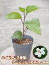 ハイビスカス 原種 アーノッティーアヌス4号充実苗【ハワイの原種】【希少熱帯植物】【発送時期が同じ熱