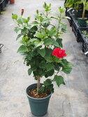 【値下げしました!】お手頃価格のスタンダードハイビスカス鉢植え サマーレッド 8号鉢 70〜80cm【ハワイアンフラワー】
