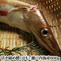 鱧瀬戸内海産600g、湯引き用の辛子酢みそつき、天ぷら、はもしゃぶにも(3〜4人前)活き締め(お中元)RCP