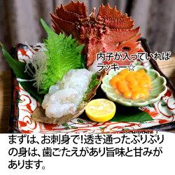 うちわえび活き1kg(ウチワエビ)長崎産もしくは島根、山口