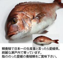 瀬戸内海産活き締め鯛(養殖)1kg【お食い初め】