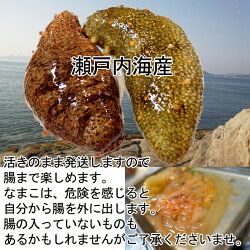 赤なまこ(瀬戸内海産)1kg活きのまま発送