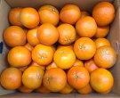 【3/5以降発送】奄美大島のたんかん5kg(Lサイズ)※自然栽培※数量限定品のため、売り切れの際はご容赦ください。
