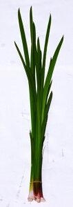 花の郷 滝谷花しょうぶ園からお届けする匂い菖蒲。ニオイショウブ(匂い菖蒲)切葉7本90cm5月5...