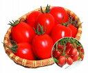 丸種 ミニトマト すずこま 1000粒