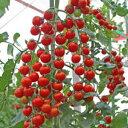 トキタ種苗 ミニトマト サンチェリーピュアプラス100粒