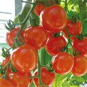 トキタ種苗 ミニトマト サンチェリーピュア1000粒