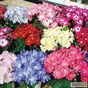 タキイ種苗 草花 種子 シネラリア・リゾートミックス