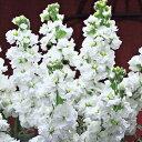 タキイ種苗 草花 種子 ストック・クルーズホワイト