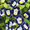タキイ種苗 草花 種子 トレニア・F1カウアイ ブルー&ホワイト