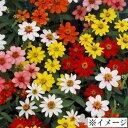 タキイ種苗 草花 種子 百日草(ジニア)・ザハラ ミックス