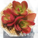 火祭り クラッスラ Mサイズ6cmポット Crassula CAMP FIRE 多肉植物 小〜中型種 葉を重ねるタイプ 多肉植物 男前 癒し 贈り物