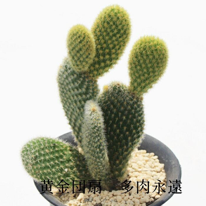 花・観葉植物, 鉢花  M 5.5cm Opuntia microdasys var.albispina