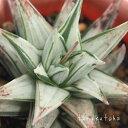 幻の塔 ハオルチア Haworthia Mサイズ6cmポット 透明窓 多肉植物