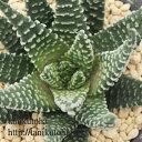 冬の星座 ハオルチア Haworthia Mサイズ 6cmポット 透明窓 多肉植物