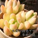 黄麗 セダム Mサイズ6cmポット SEDUM GOLDEN GLOW 小〜中型種 葉を重ねるタイプ 多肉植物 男前 かわいい きれい 寄せ植えにも
