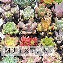多肉植物 Mサイズ苗名前付き30個セット 多肉植物根付苗セット 激安多肉植物3