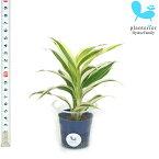 観葉植物 ハイドロカルチャー 苗 サンデリアナ ホワイト Sサイズ 4.5パイ 1.5寸