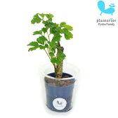 観葉植物 ハイドロカルチャー 苗 ポリシャス バタフライ Sサイズ 4.5パイ 1.5寸