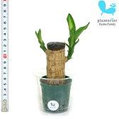 観葉植物 ハイドロカルチャー 苗 マッサン 幸福の木 Mサイズ 6パイ 2寸