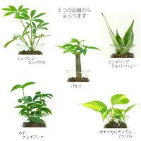 観葉植物【パキラシェフレラサンスベリアほか、いろいろ選べる】サンドボトルミルク植物セットハイドロカルチャー